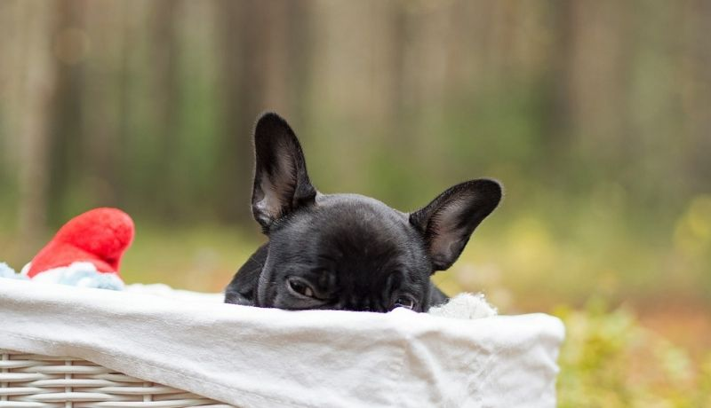 Ear infections in French bulldog