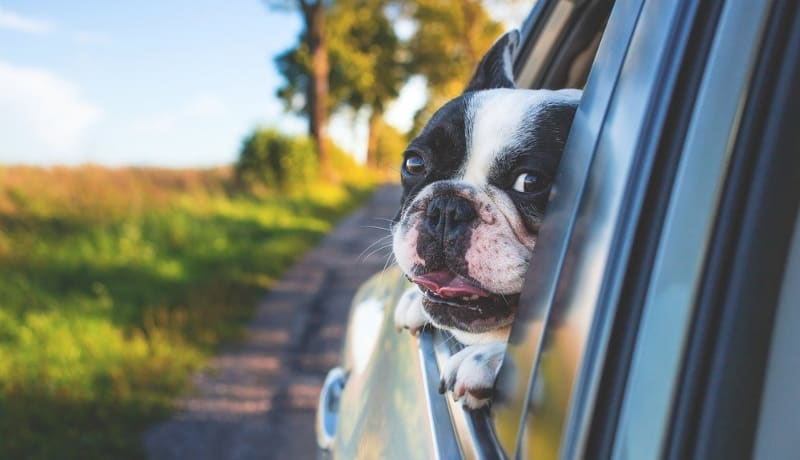 Road Trip with French bulldogs