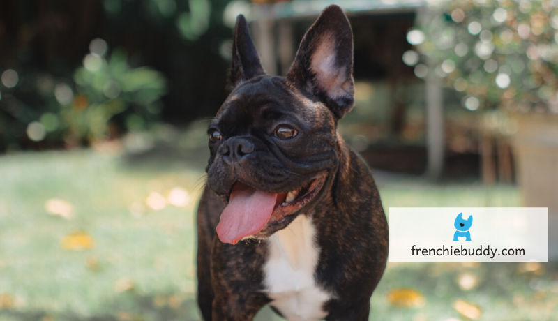 excessive drooling in French bulldog