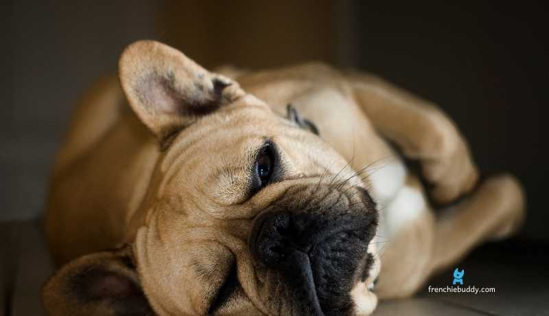 Warning Signs Your French Bulldog is Dying